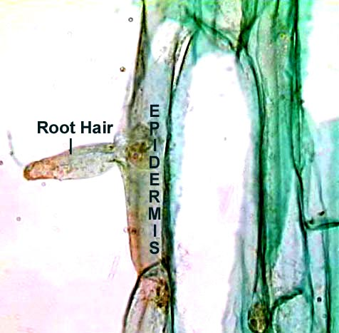 Fern Root With Long Hairs 13kb